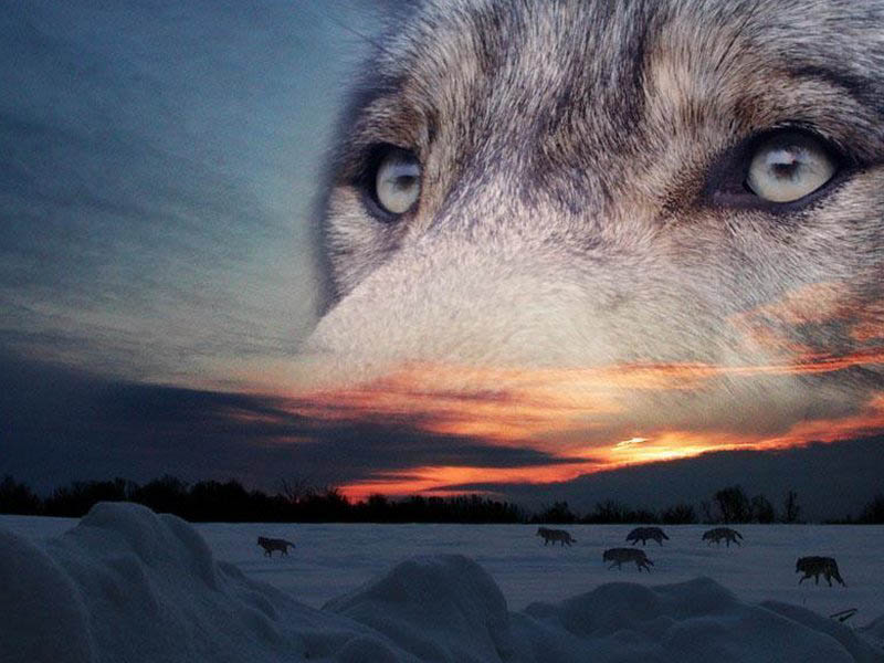 Волк, волкодлак, Оборотничество, животные в славянской культуре